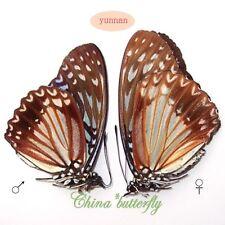 RARE PAIR unmounted butterfly Nymphalidae Hestina nama CHINA  A1-