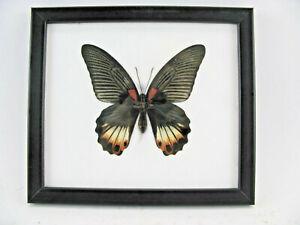 The Great Mormon echter Schmetterling im Schaukasten aus Holz  20x17cm