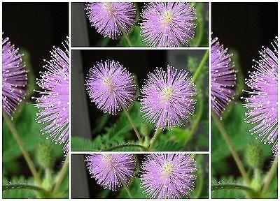 graines SENSITIVE: MIMOSA PUDICA AUX FEUILLES HYPERSENSIBLES - FLEURS TOMATES