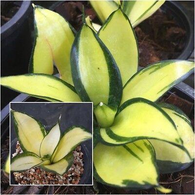 Golden Bird/'s Nest Sansevieria Live Plant Sansevieria trifasciata /'Golden Hahnii/'