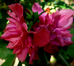 3 Live Plants Double Red Flowers Althea Rose Of Sharon Purple Pink