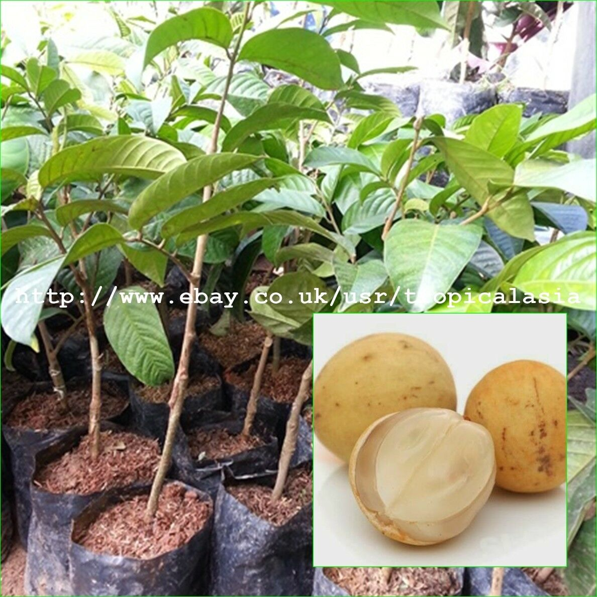 50 cm Lansium domesticum injertadas plantas longkong fruta árbol popular Tropical