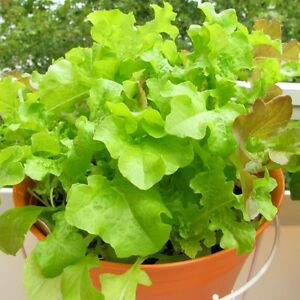 You Can Grow Lettuce In A Hanging Basket From Seed Or From Starter Plants.  Use Organic, Nitrogen Rich Fertilizer To Promote Leaf Growth And Hang The  Basket ...