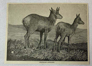 1885-Revista-Grabado-Proghorn-Antilopes