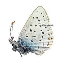 Unmounted Butterfly/Lycaenidae - Plebejus (Aricia) saepiolus saepiolus, male