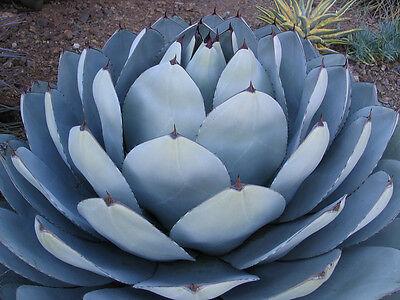 RARE AGAVE PARRYI TRUNCATA succulent artichoke plant exotic garden seed 15 SEEDS