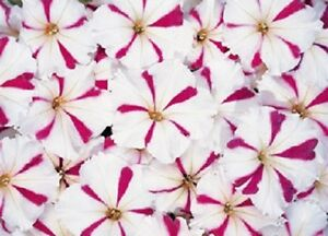 50-Pelleted-Petunia-Seeds-Celebrity-Burgundy-Star-Seeds