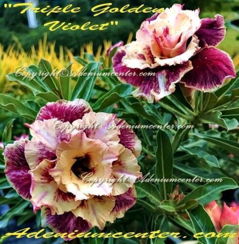 """ADENIUM OBESUM DESERT ROSE  /"""" TRIPLE GOLDEN VIOLET /"""" 100 seeds FRESH NEW HYBRID"""