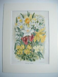 Antique c1880 Chromolithograph Botanical Floral Print in Mount ~ SPRING BULBS
