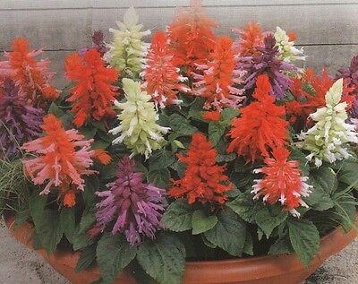50 Salvia Seeds Salvia Saluti Mix  Buy Flower Seeds Garden Starts Nursery