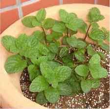 500pcs Spearmint Mint Mentha Herb Green Flower Seeds Home Decor New CH