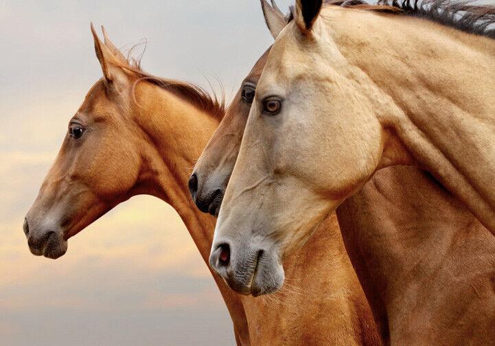 LARGE A3 SIZE QUALITY CANVAS ART PRINT WILD HORSES