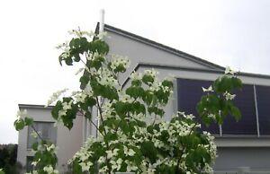 Cornus-kousa-chinensis-100-120cm-weisser-chinesischer-Blumenhartriegel