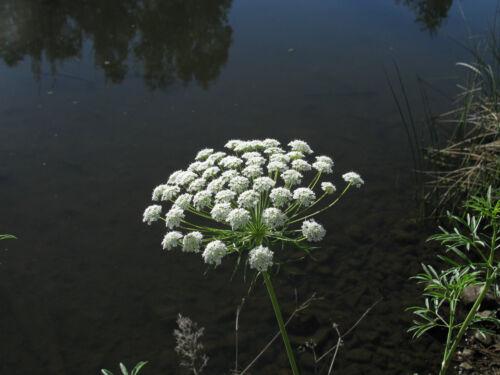 Grande Cartilage carotte 200 graines évêque herbe pubblica majus