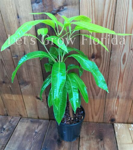 Tropical Rootstock Fruit Turpentine Live Mango Tree
