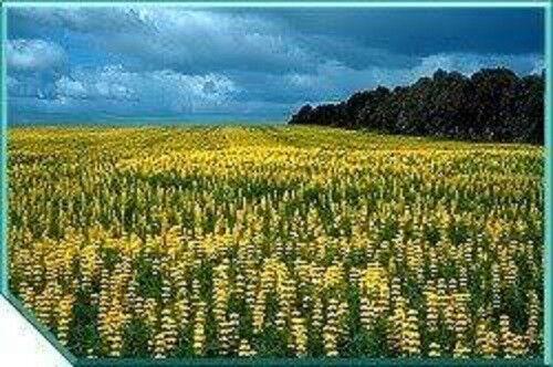 60 YELLOW LUPINE Lupinus Densiflorus Flower Seeds Gift