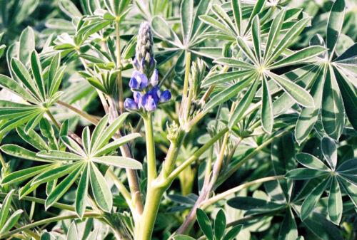 BITTERLUPINE Saatgut Lupine blau 2,5 kg Gründünger Bodenverbesserer tiefwurzelnd