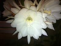 Epiphyllum Oxypetalum 'Queen of the Night' Plant NFS Succulent SCENTED Species