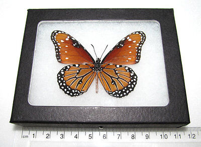 REAL FRAMED BUTTERFLY MONARCH MIMIC QUEEN DANAUS GILIPPUS VERSO