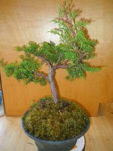 18 Year Old Shohin Shimpaku Itiogawa Juniper 1 Inch Trunk Styled By Toyo Bonsai Ebay