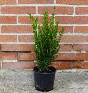 Bosso-Buxus-Faulkner-vaso-8-4-piante