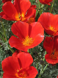 150 graines PAVOT DE CALIFORNIE ROUGE(Eschscho<wbr/>lzia Californica)X2<wbr/>56 SEEDS SEMI