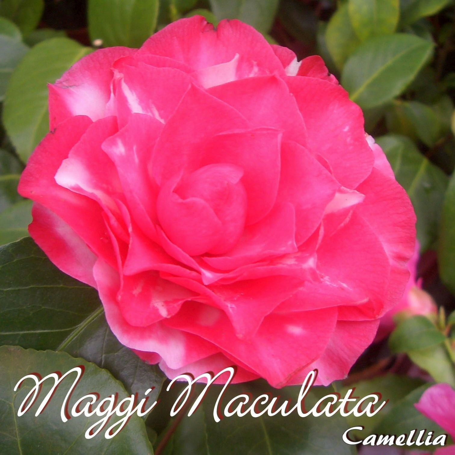 Kamelie  Maggi maculata  - Camellia - 6 a 7 anni pianta