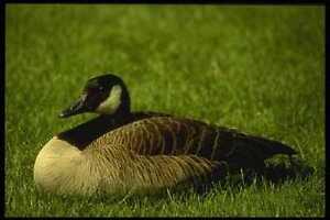 008103-Canada-Goose-A4-Photo-Print
