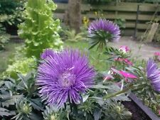 """0.5g (approx. 300) needle aster """"UNICUM"""" seeds stunning purple color, big blooms"""