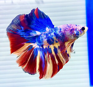US SELLER (A-Grade) Male Candy 🍭Halfmoon Betta imported from Thailand