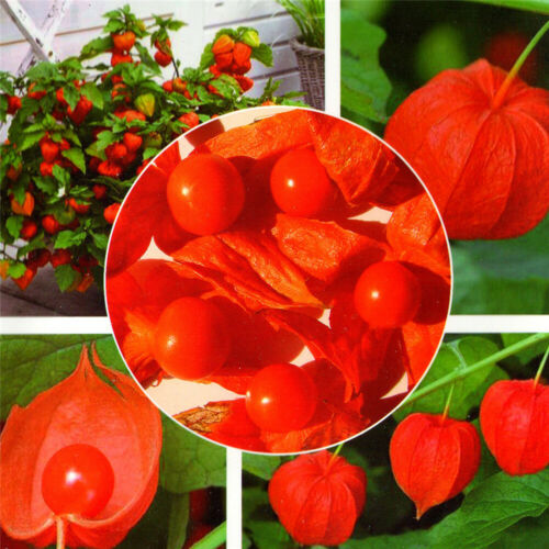 Physalis Peruviana Bonsai Seeds Golden Berry Red Lantern Outdoor Plant Easy Grow