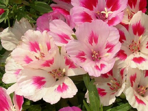 """disease resistant godetia seeds /""""RUZOVA/"""" light pink color 0.5g approx.700-750"""