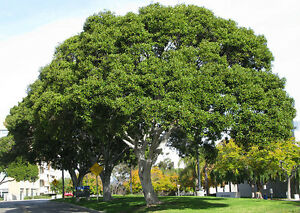Port-Jackson-Fig-Ficus-rubiginosa-100-Fresh-Seeds-Bonsai-or-Feature
