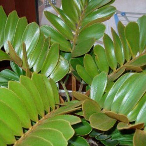 Zamia Furfuracea 6 Graines-carton Palm Stangeria Eriopus