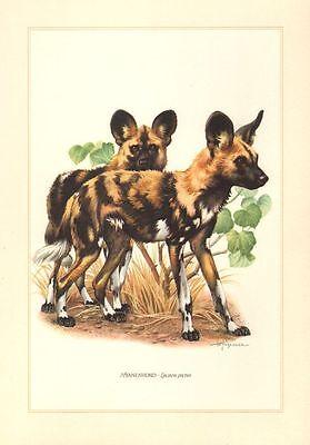 Hyäne Afrikanischer Wildhund ( Lycaon Pictus ) Hyänenhund Farbdruck 1958 Gesundheit FöRdern Und Krankheiten Heilen