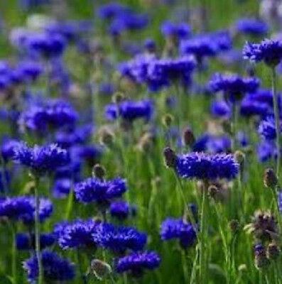 Bachelor Button Blue Boy Cornflower 75 Seeds Beautiful Brilliant Blue Free Ship!