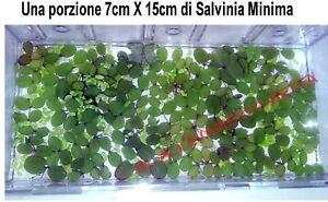 Salvinia-Minima-15e-pianta-galleggiante-ACQUARIO-STAGNO