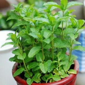 500pcs/pack Green Spearmint Mint Mentha Herb Seeds J9K Aromatic Garden Fast Z6M4 Garden & Patio