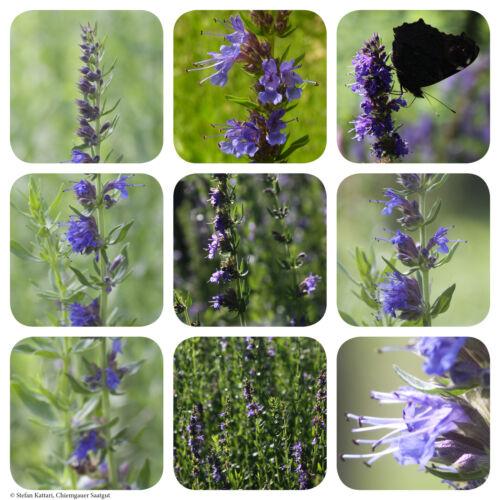 Echter Ysop | 300 Korn Saatgut | beste Bienenweide | Hyssopus officinalis