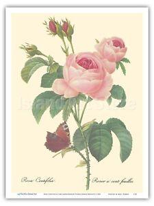 Rose Centifolia 100 Leaved Rose Redoute Vintage Botanical