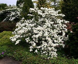viburnum plicatum grandiflorum japanischer schneeball 40 60 cm im container ebay. Black Bedroom Furniture Sets. Home Design Ideas