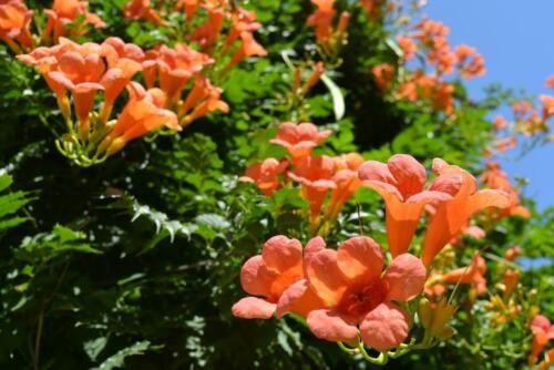 35 Graines de Jasmin de Virginie Bignone Méthode BIO fleur Mellifère grimpante