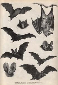 framed print vintage victorian bat illustrations antique animal