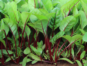 Red-Veined-Spinach-BULK-100-Seeds-A-Very-Tasty-amp-Attractive-English-Spinach