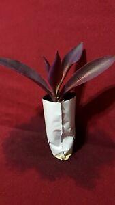 Purple-Heart-plant-Live-in-soil