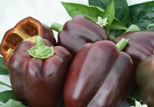 K106 SWEET PEPPER SEEDS Capsicum an. 20 graines de POIVRON BRUN CHOCOLATE BEAUTY