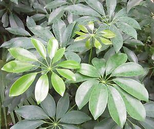 15 Samen Kleine Strahlenaralie Schefflera Arboricola Beliebte