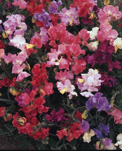 Tolle Duft Parfüm Entzücken 10 Samen Gartenwicke