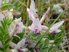 10 GROUND PLUM Flower Cover Ground Plum Milkvetch Astragalus Crassicarpus Seeds