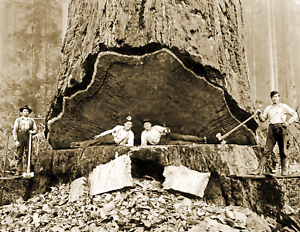 """1906 Falling Redwood California Old Photo Picture 8.5"""" x 11"""" Reprint"""